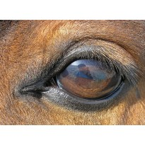 Equine Ophthalmology (10)